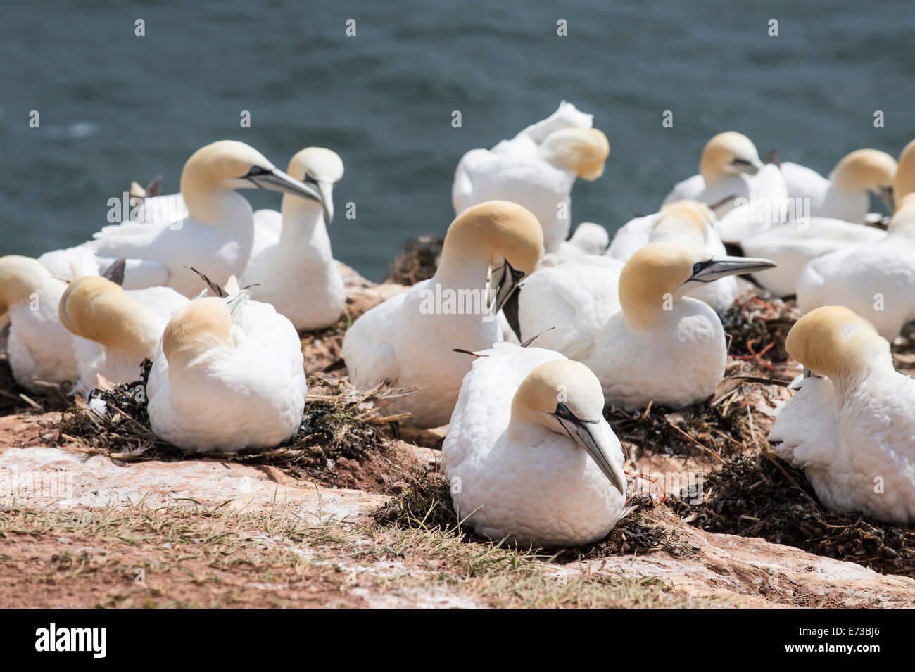 Northern gannet (Morus bassanus) colony, Heligoland, small German archipelago in the North Sea, Germany, Europe - Stock Image