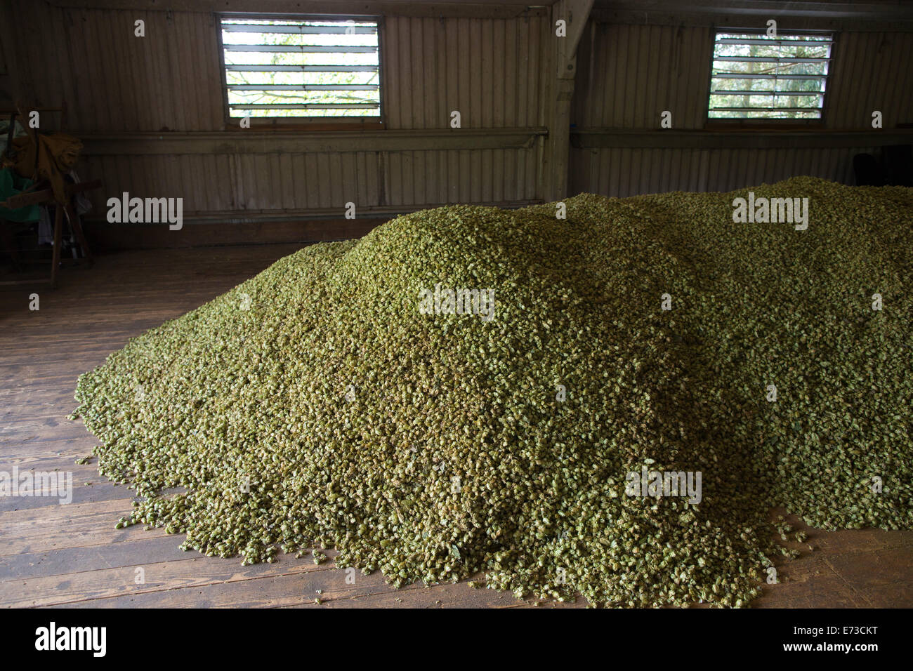 Hops being harvested ready to be exported to breweries for beer production, Hampton Estate, Surrey Hills, England, - Stock Image