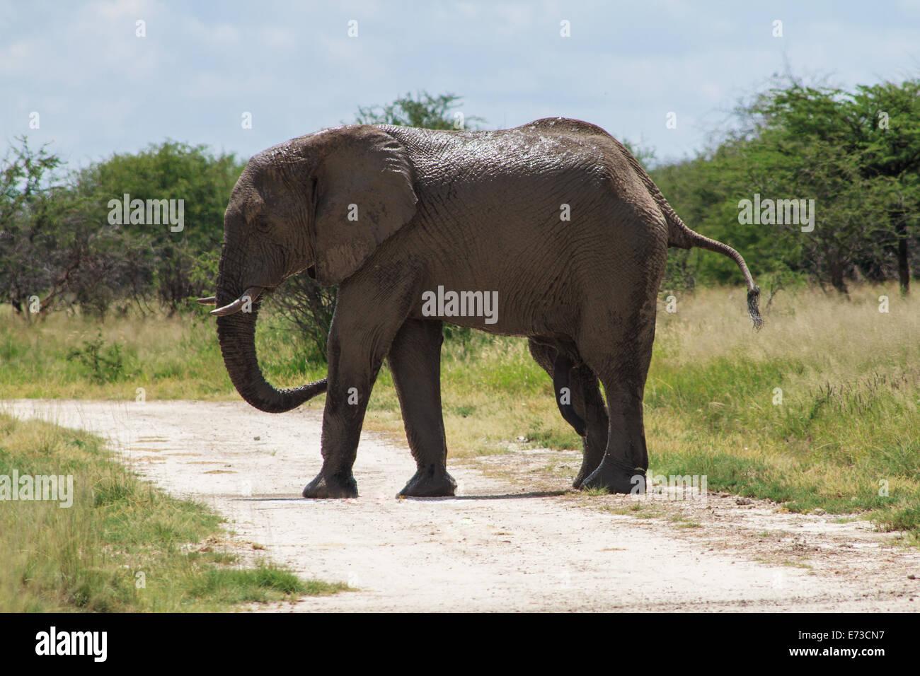 Adult male elephant crossing the road, Etosha National Park, Namibia - Stock Image