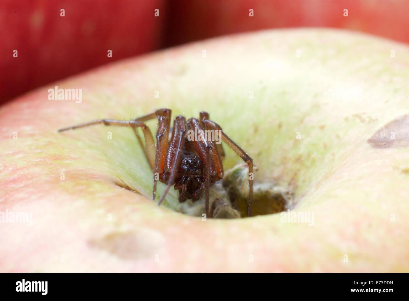 Noble false widow spider - Stock Image