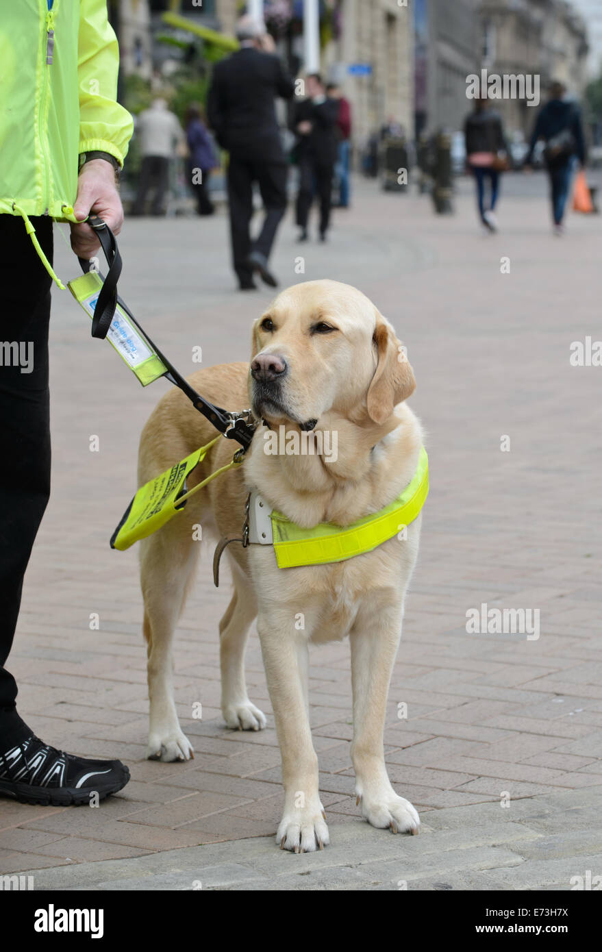 Watch elvis the labrador learning how to be a guide dog bt.