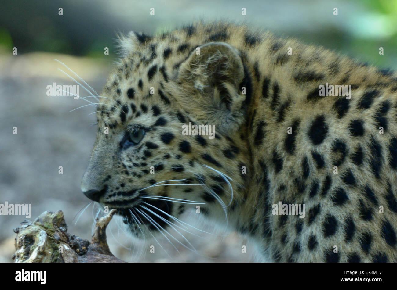 Amur leopard (Panthera pardus orientalis) is a leopard subspecies native to the Primorye region of southeastern - Stock Image