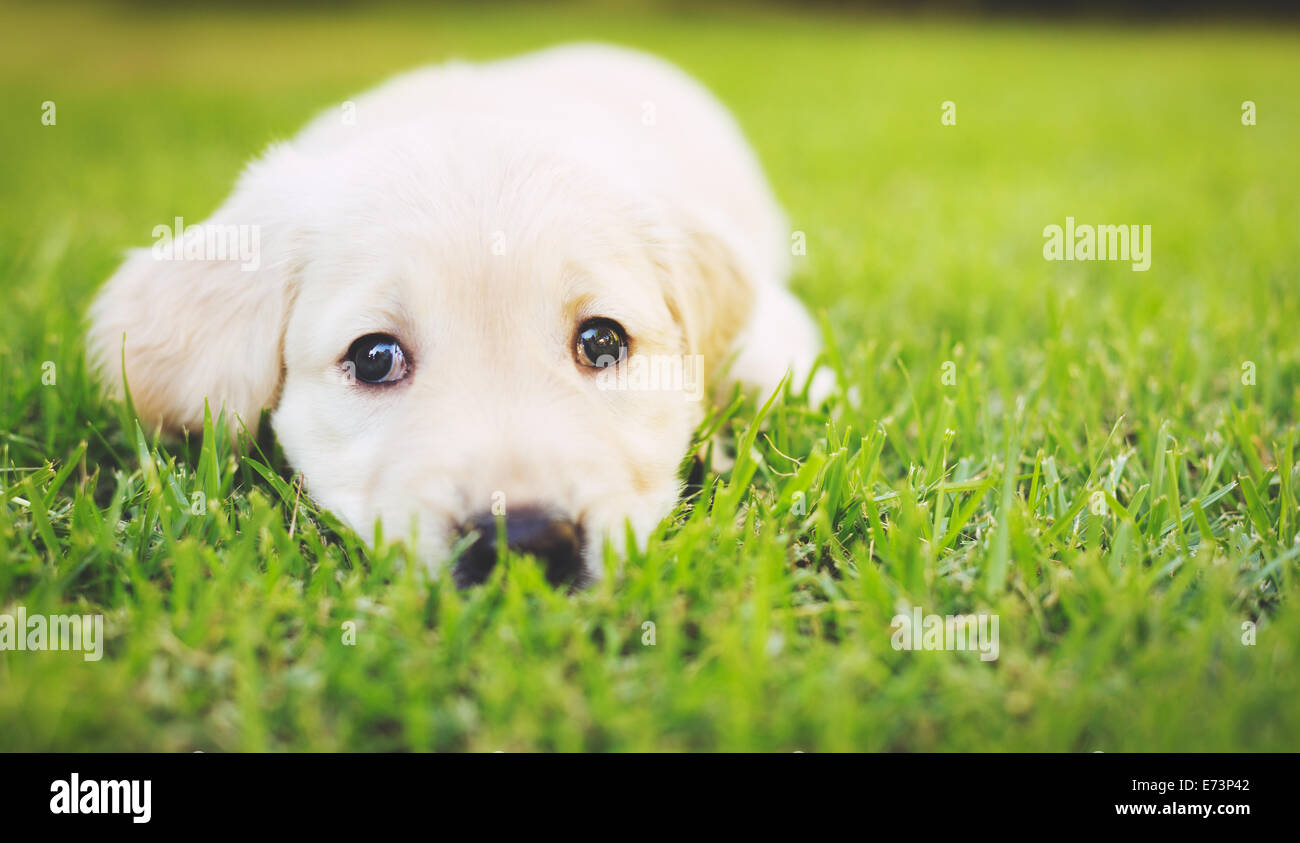 Adorable Golden Retriever Puppy In High Resolution Stock Photography And Images Alamy