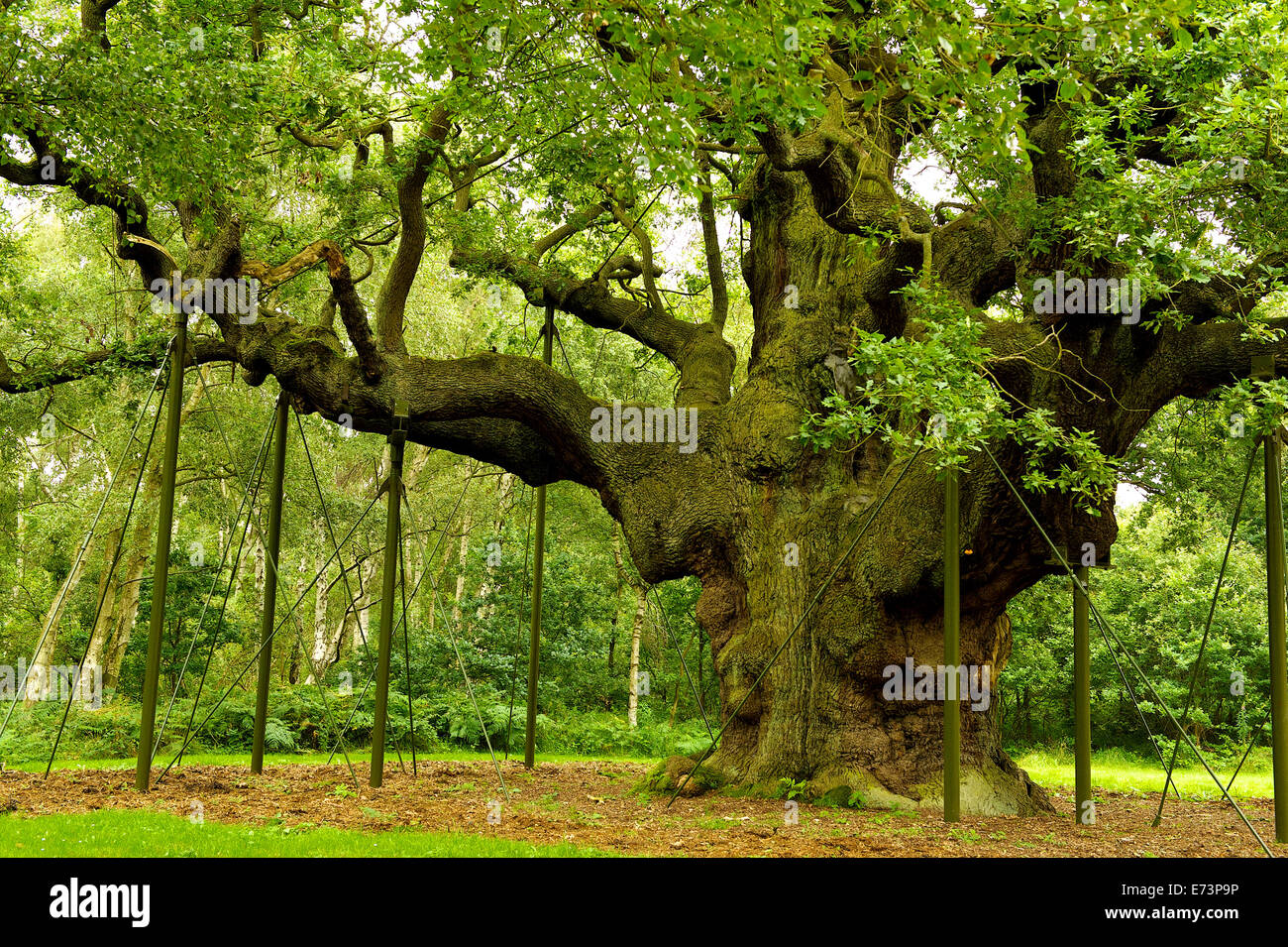 Mighty Oak Tree, Major Oak Tree, Robin Hood's Principle Hideout - Stock Image