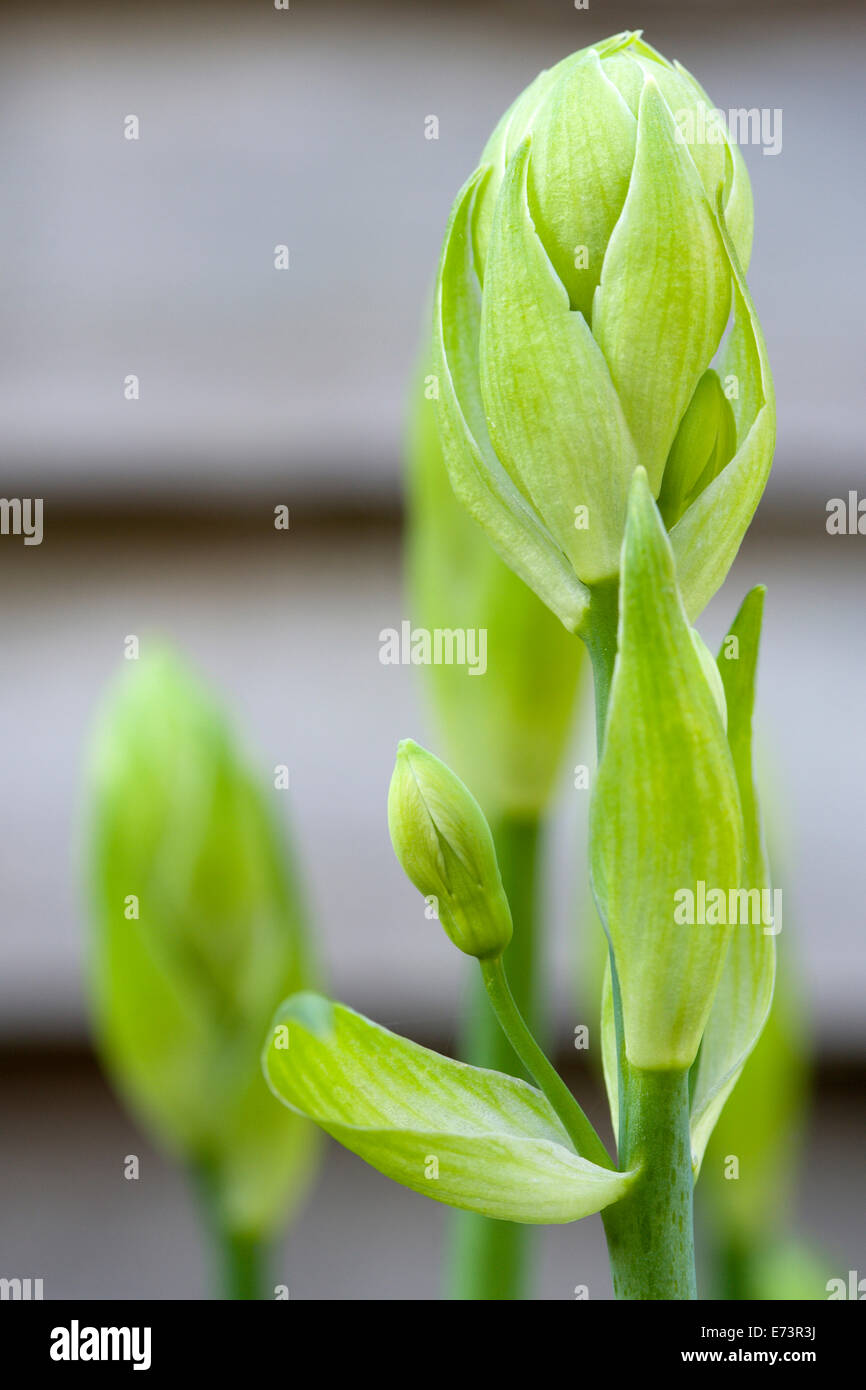 Summer hyacinth, Galtonia candicans, green upright stems with flowers emerging from green buds. - Stock Image