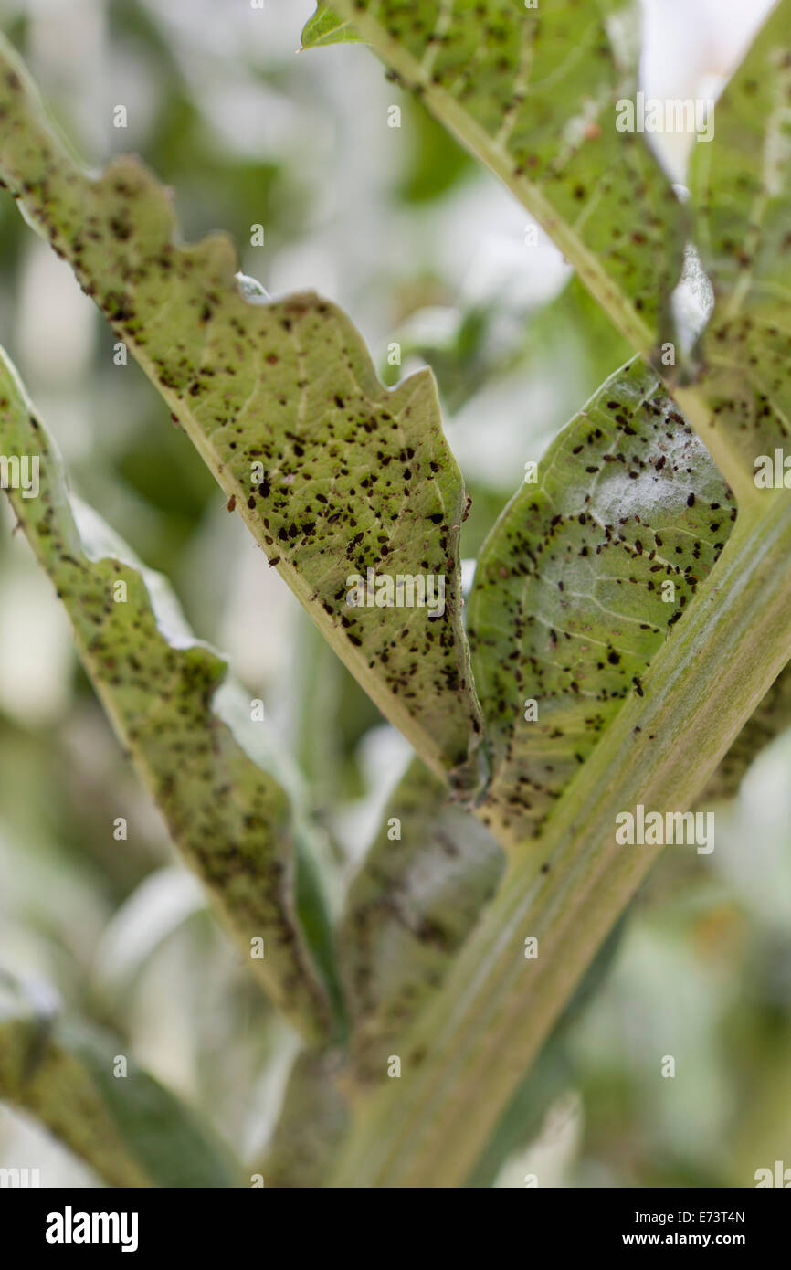 Black bean aphids (Aphis fabae) under vegetable leaf - USA - Stock Image