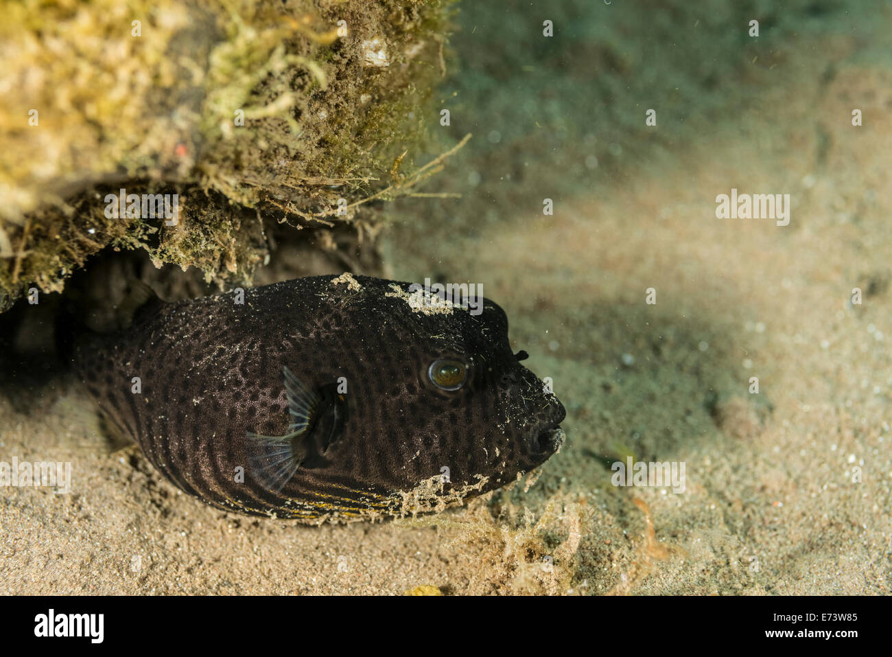 Black pufferfish hiding under a cocount Stock Photo