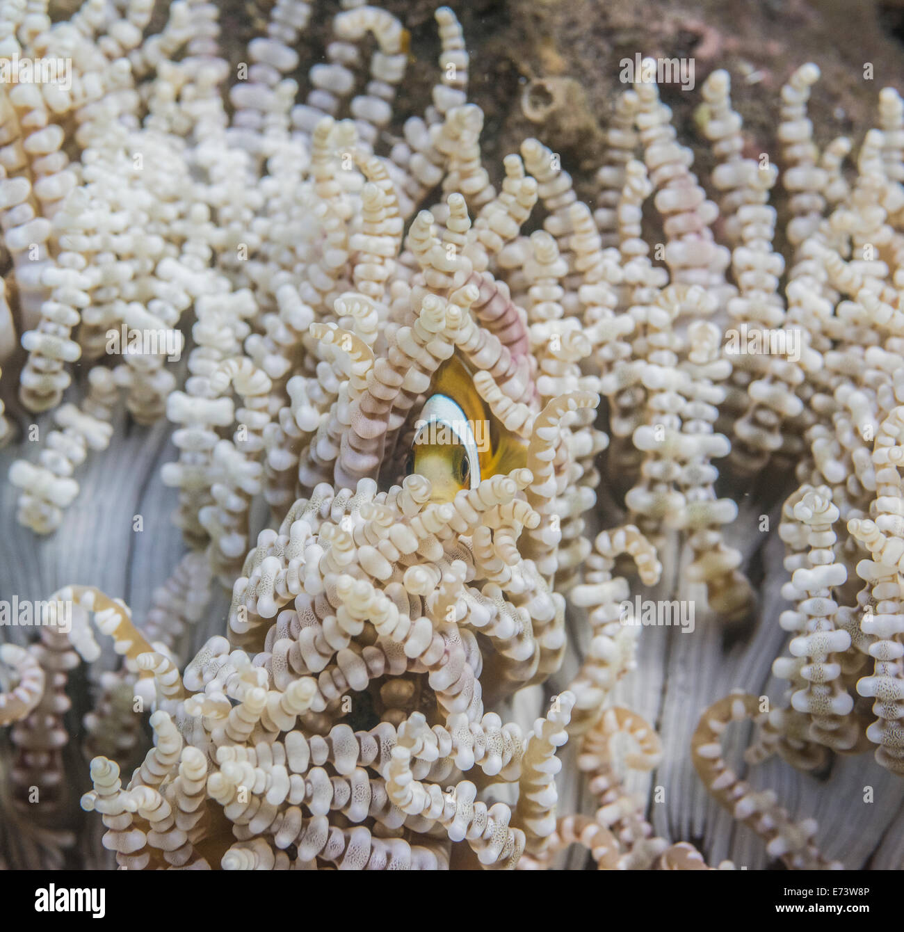 Abstract image of an anemone - Stock Image