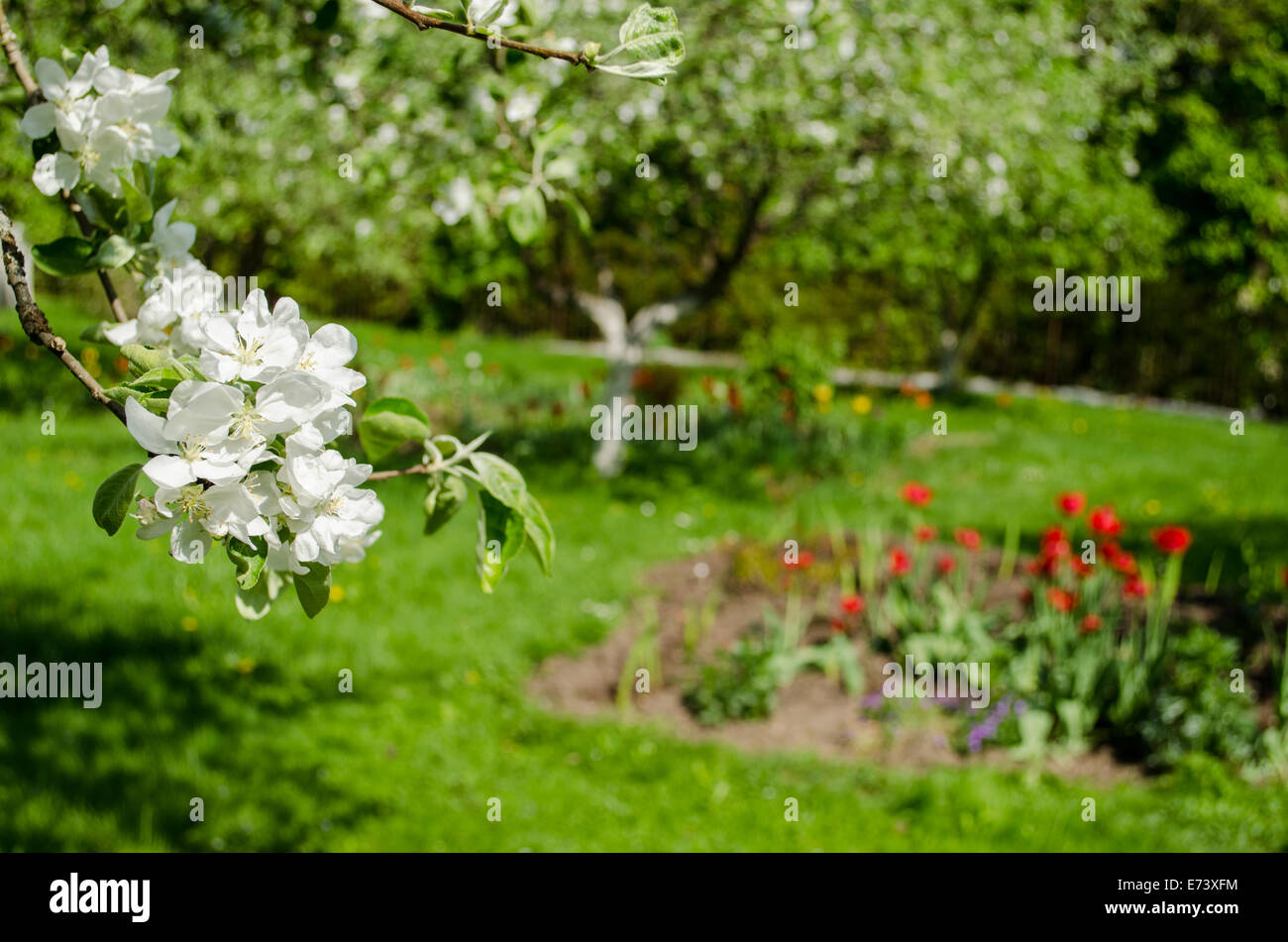 Apple Tree Branch With Small White Flowers And Leaves On Garden