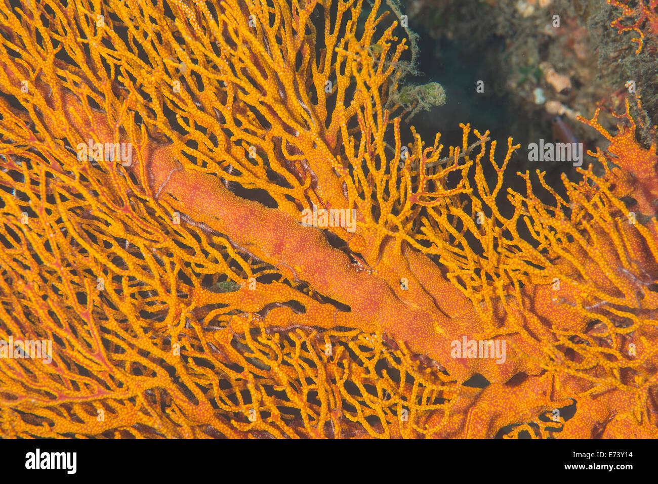Gorgonian Sea Fan - Stock Image