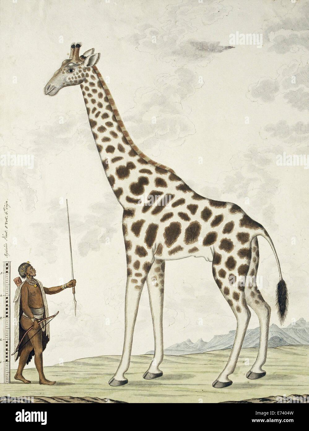 Giraffe (Giraffa camelopardalis), Hottentot Warrior and a scale - by Robert Jacob Gordon, 1779 - Stock Image