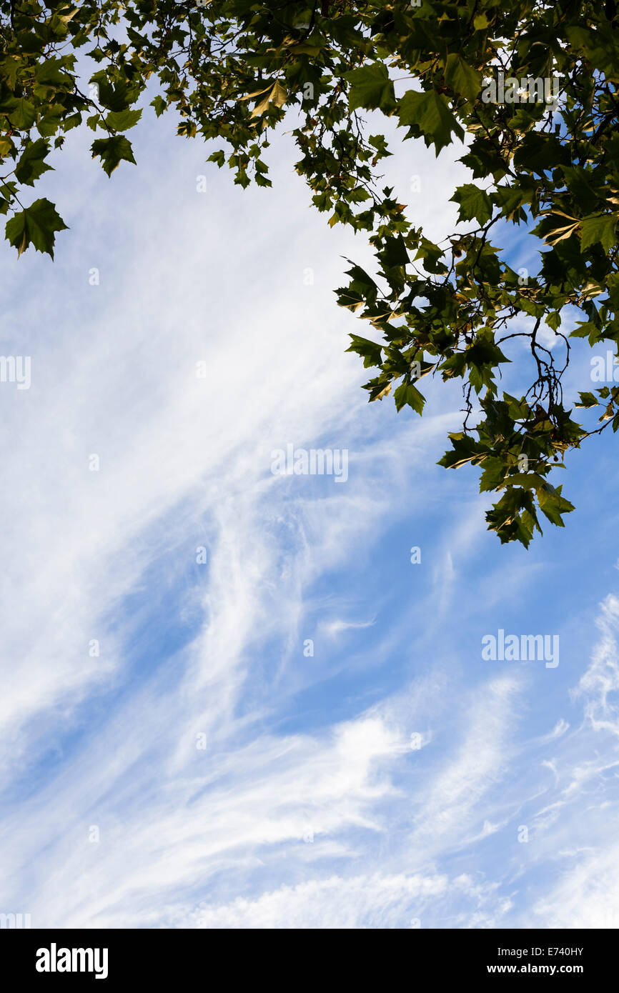Wispy cloud and leaves of a plane tree in a park in London. - Stock Image