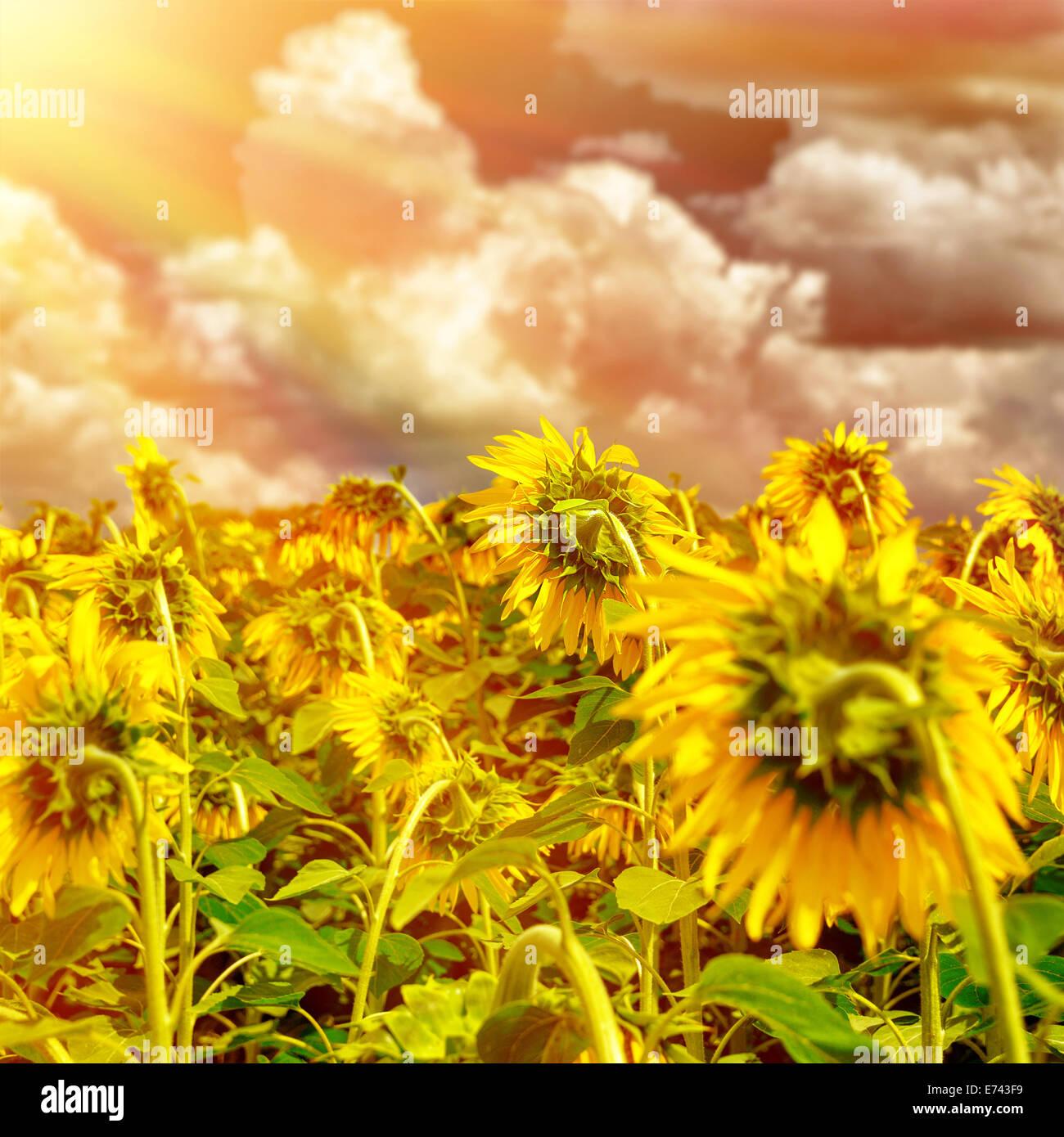 Blooming big beautiful sunflowers on stock photos blooming big sunflower field on sunset ripe sunflowers field beautiful big yellow flowers europe in izmirmasajfo