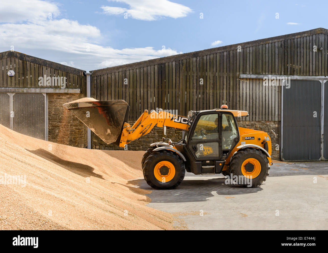 JCB moving grain at a bulk storage facility - Stock Image