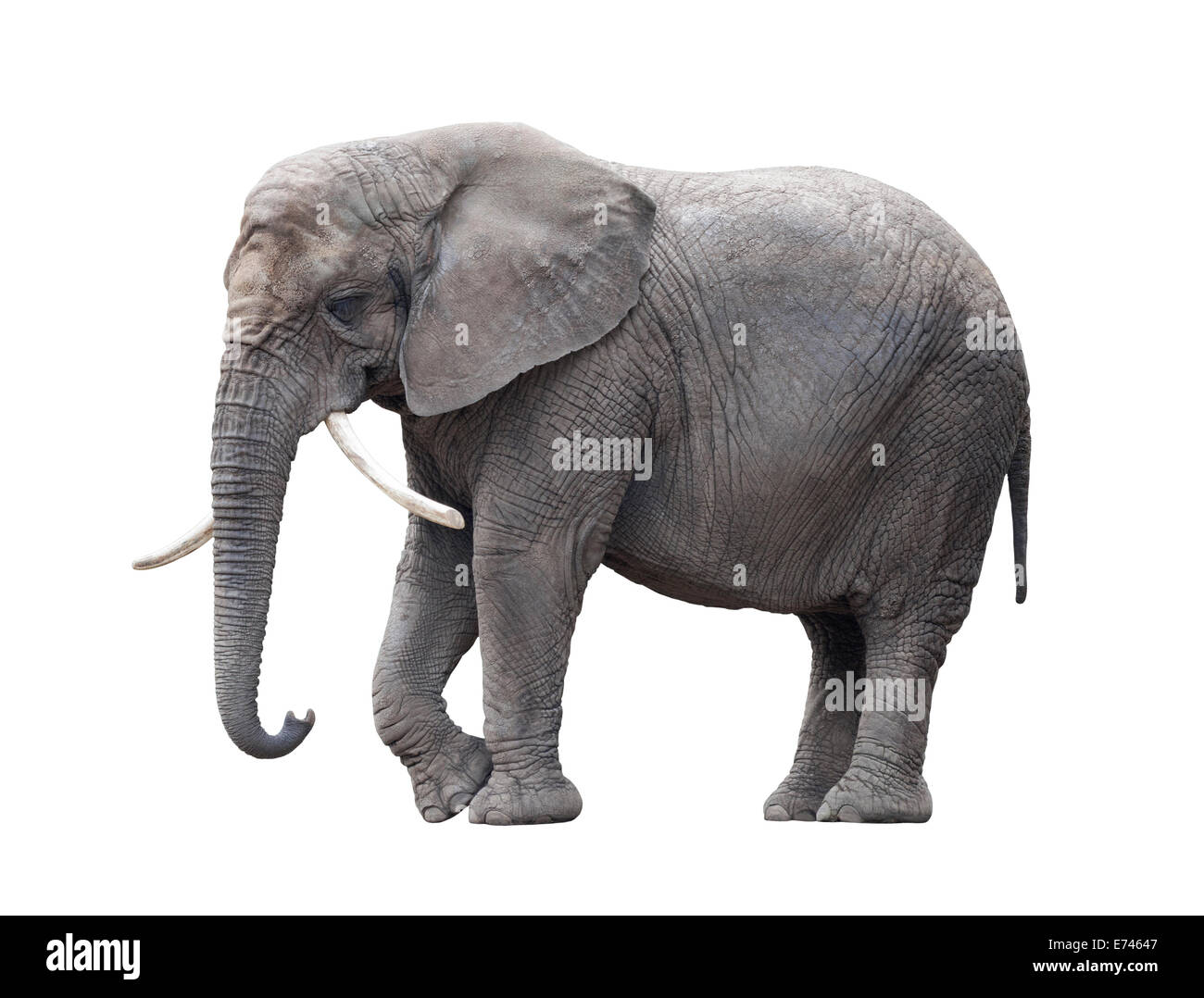African elephant isolated on white with clipping path - Stock Image