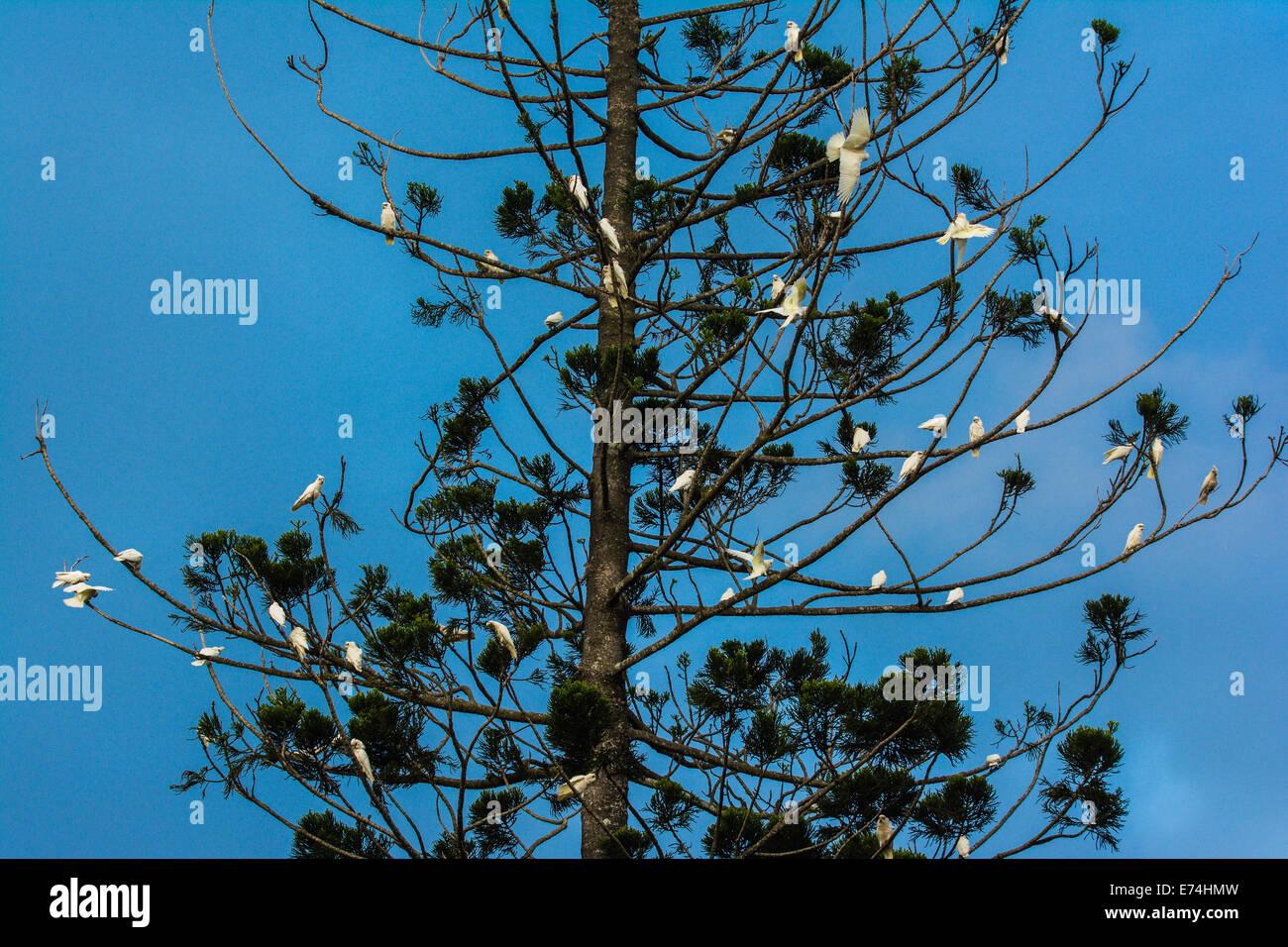Corella flock in a Bunya Nut tree, Brisbane, Queensland, Australia - Stock Image