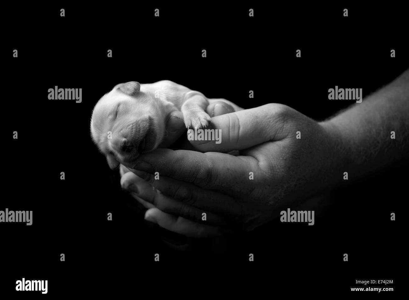 Holding newborn labrador puppy in hands Stock Photo