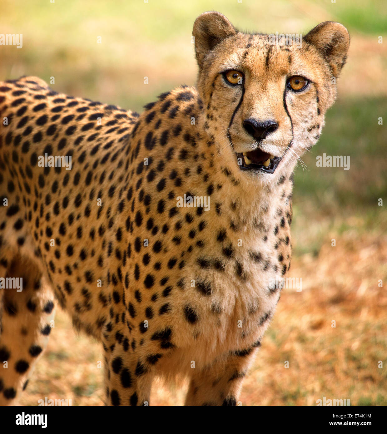 CheetahStock Photo