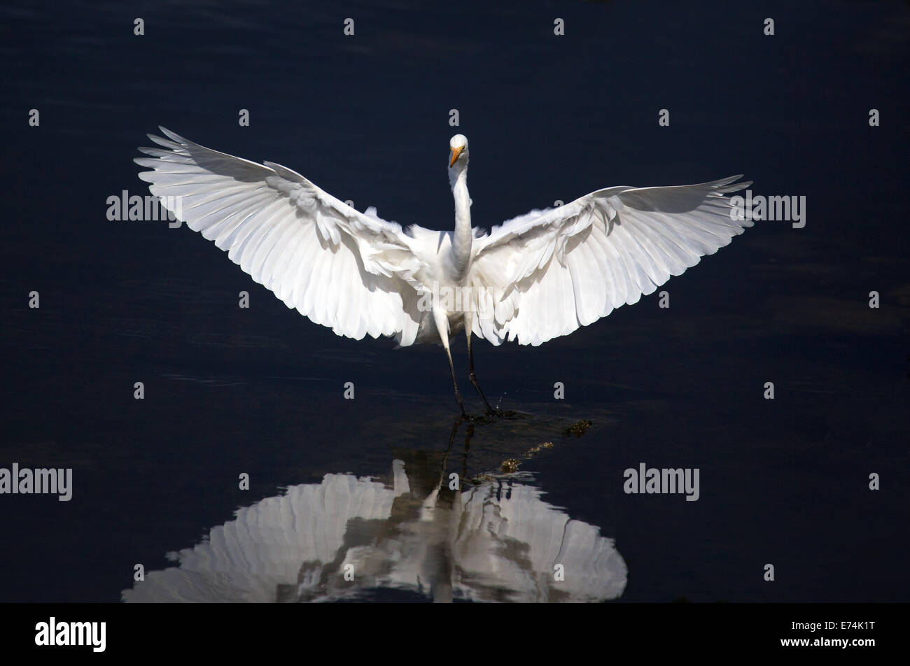 Eastern reef egret, Lara VIC Australia Stock Photo