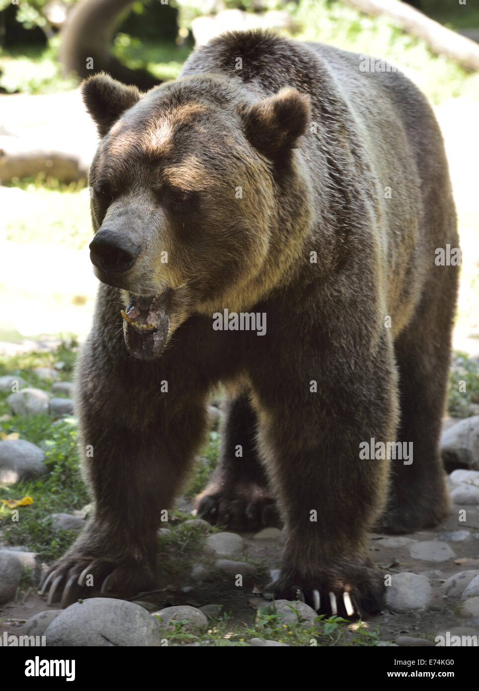 Grimacing face of mature Grizzly bear Ursus arctos horribilis Toronto Zoo - Stock Image
