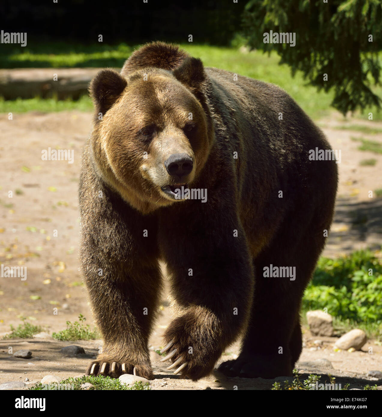 Mature Mainland Grizzly bear subspecies of brown bear walking on path at the Toronto Zoo - Stock Image