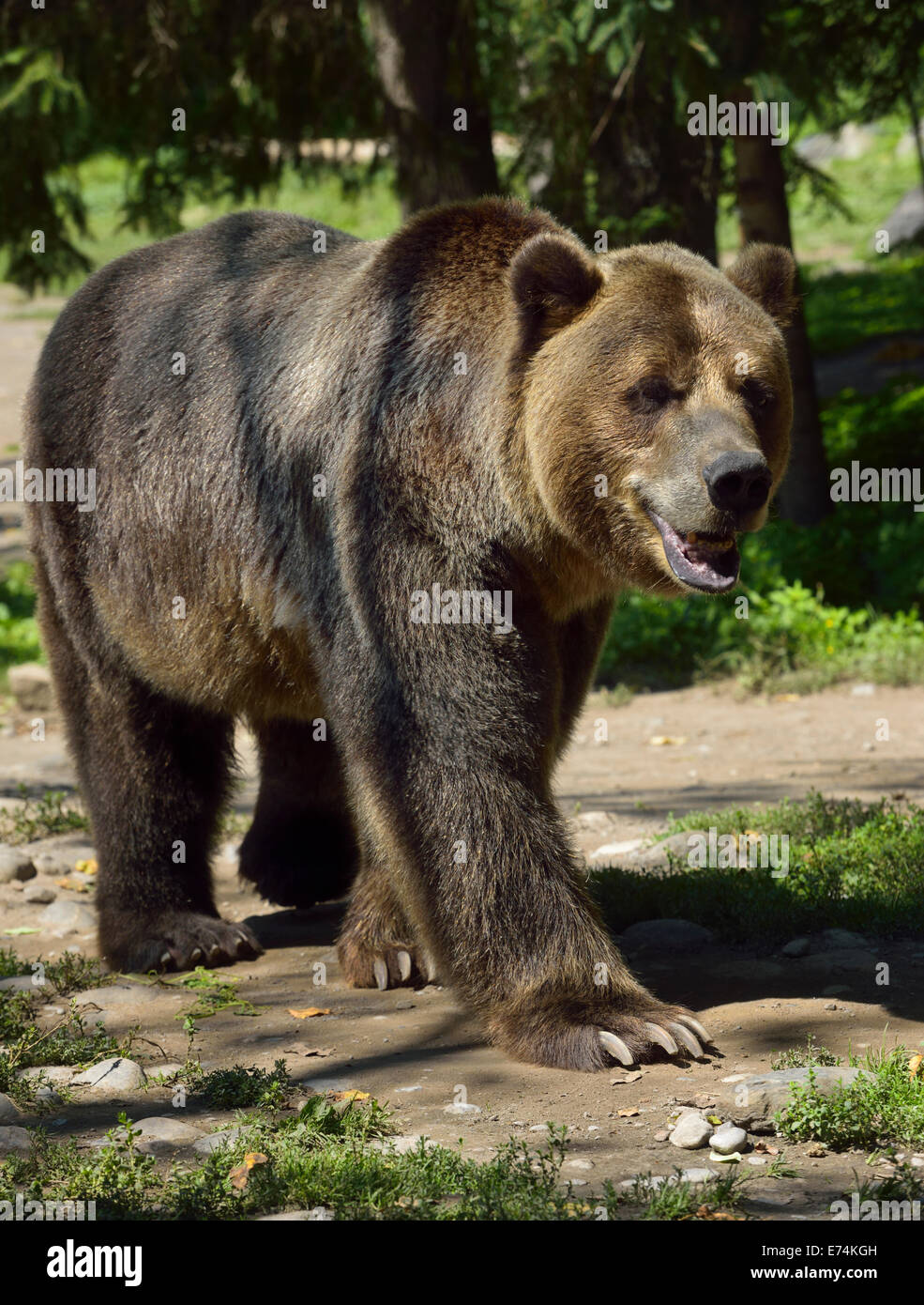 Mainland Grizzly bear Ursus arctos horribilis subspecies of brown bear walking on path Toronto Zoo - Stock Image