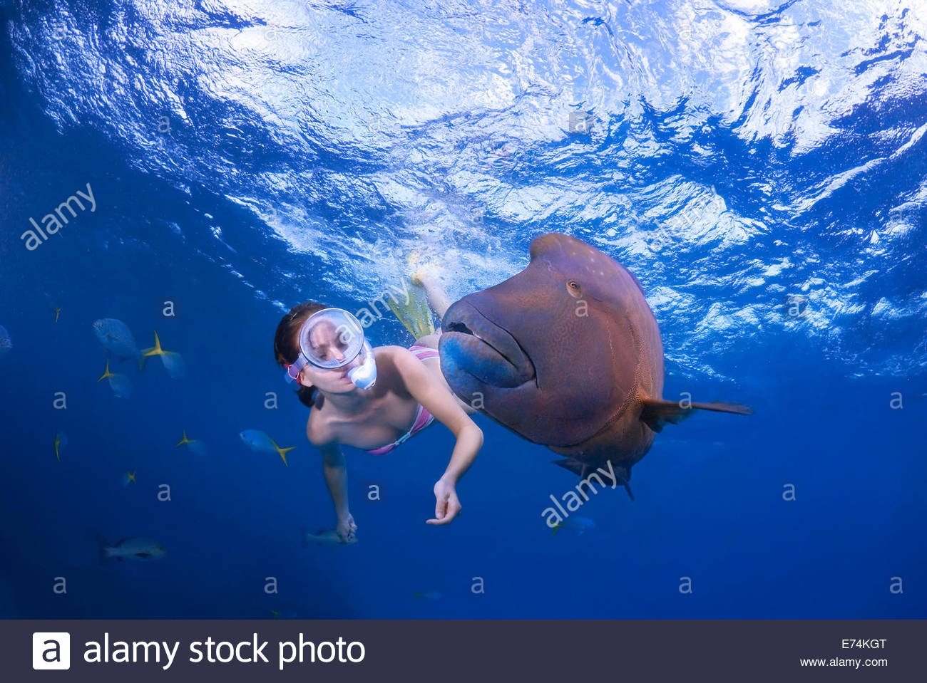 Scuba diving with humphead wrasse Stock Photo