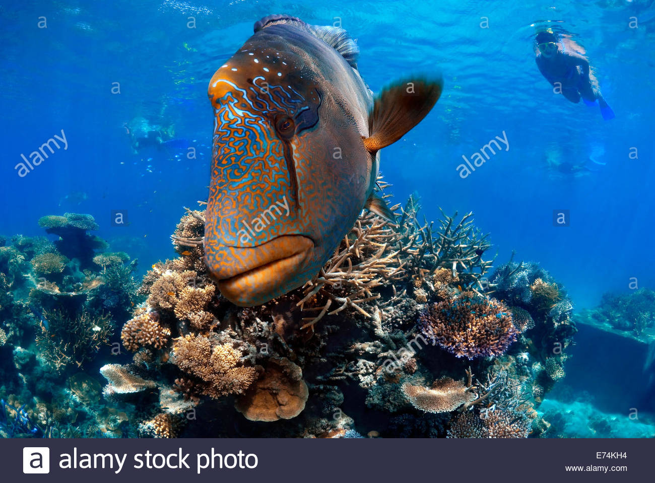 Large humphead wrasse Stock Photo