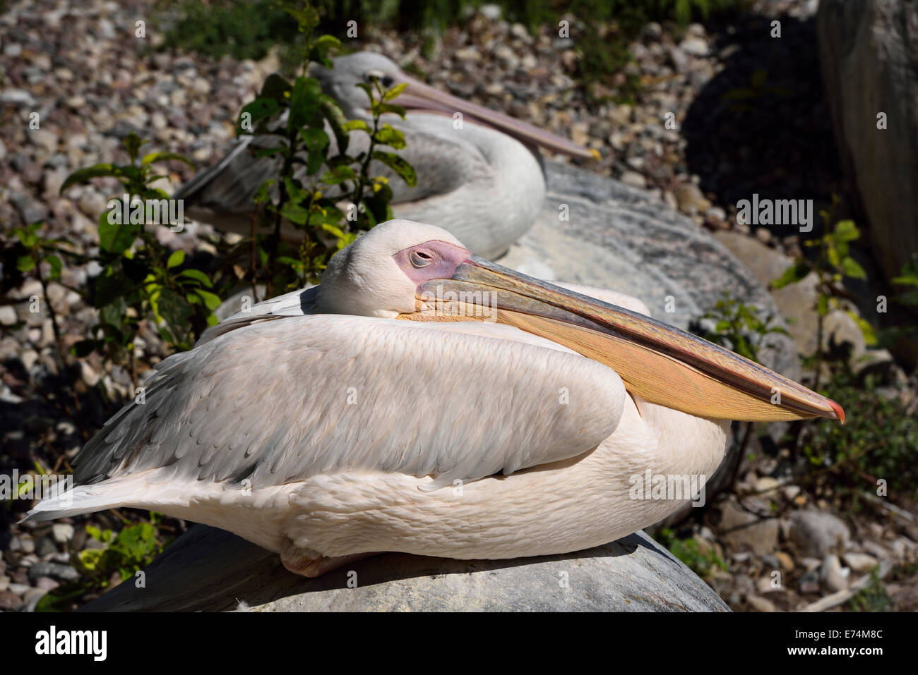 Dozing Great White Pelican Pelecanus onocrotalus sitting on a rock Toronto Zoo - Stock Image