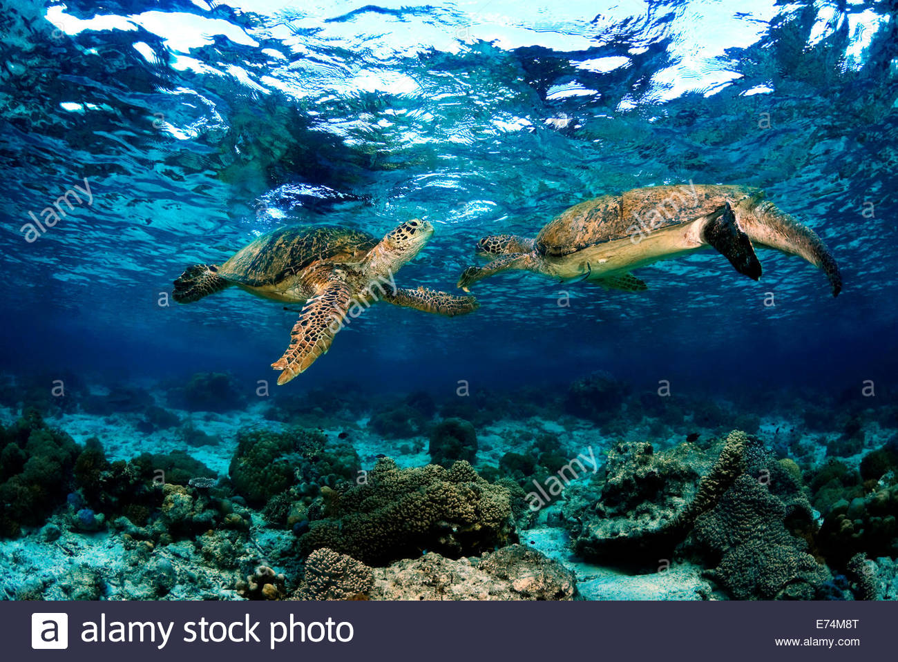 Two green seaturtles Stock Photo
