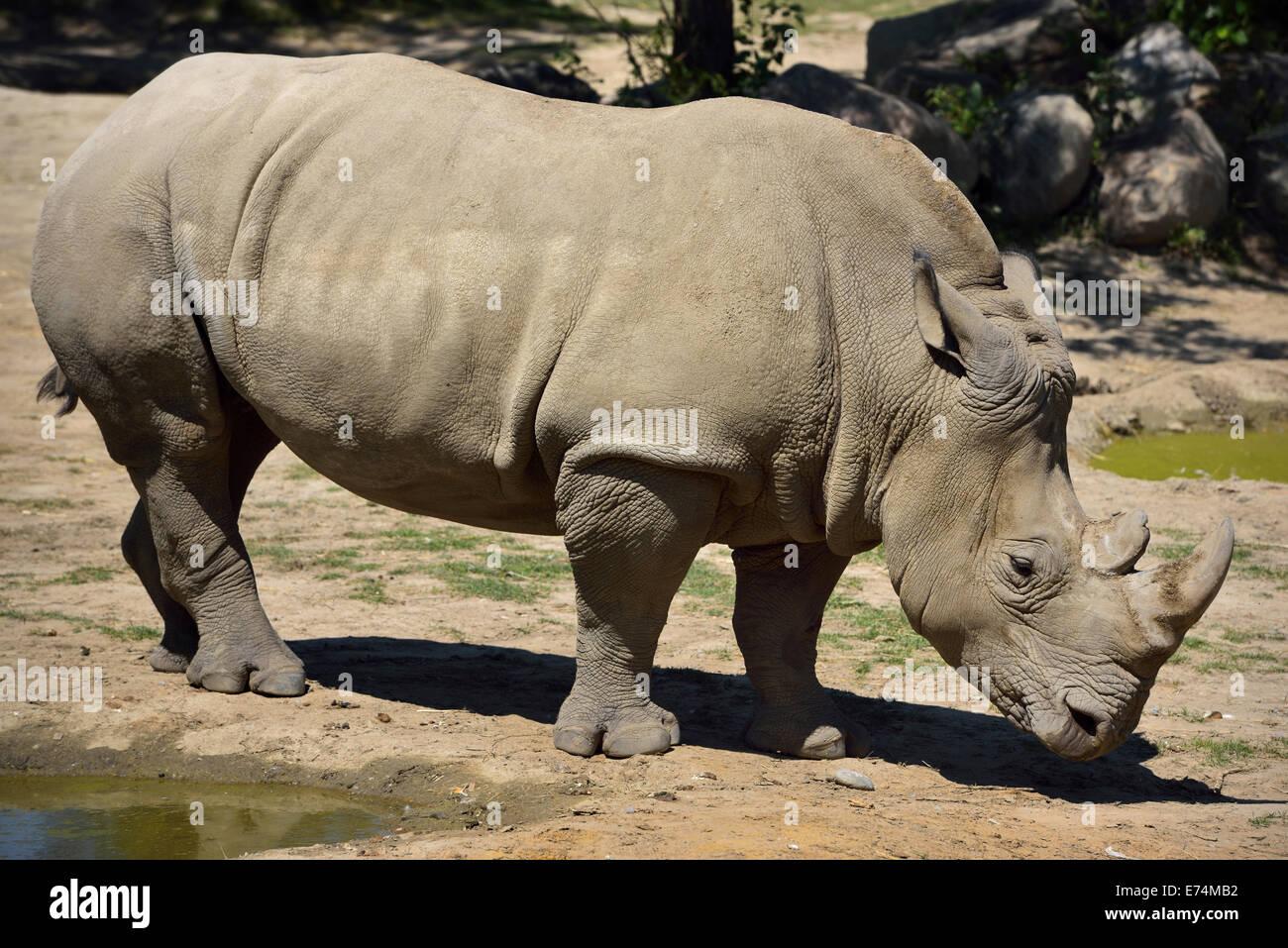 Female Southern White Rhinoceros Ceratotherium simum standing at watering hole Toronto Zoo - Stock Image