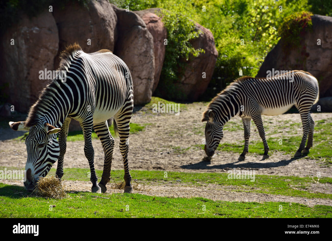 Two Grevy's Zebras Equus grevyi grazing on grass Toronto zoo Stock Photo