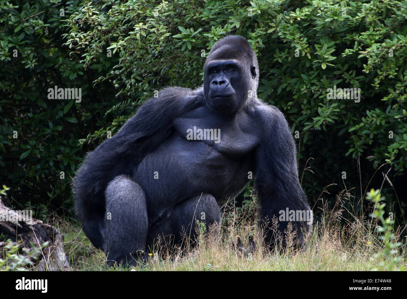 Jambo, the alpha male a large group of Western lowland gorillas at Apenheul zoo, The Netherlands, striking an intimidating - Stock Image