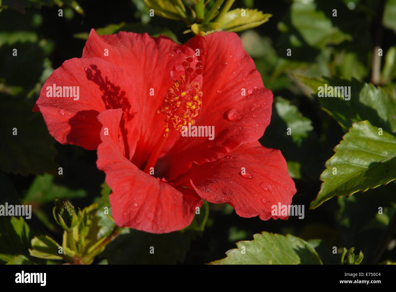 Red hibiscus in full bloom stock photos red hibiscus in full bloom red hibiscus flower with early morning dew stock image izmirmasajfo