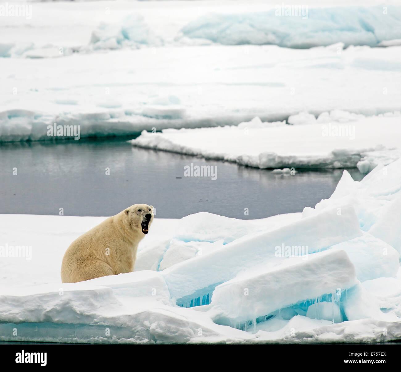 Polar bear (Ursus maritimus) yawning on pack ice Svalbard Norway Arctic Circle Scandinavia Europe - Stock Image