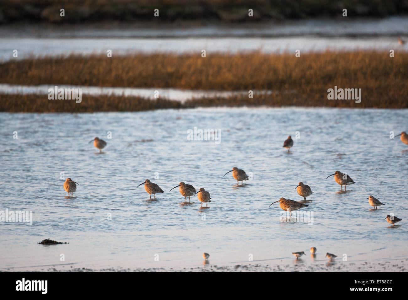Coastal birds feeding on the beach - Stock Image
