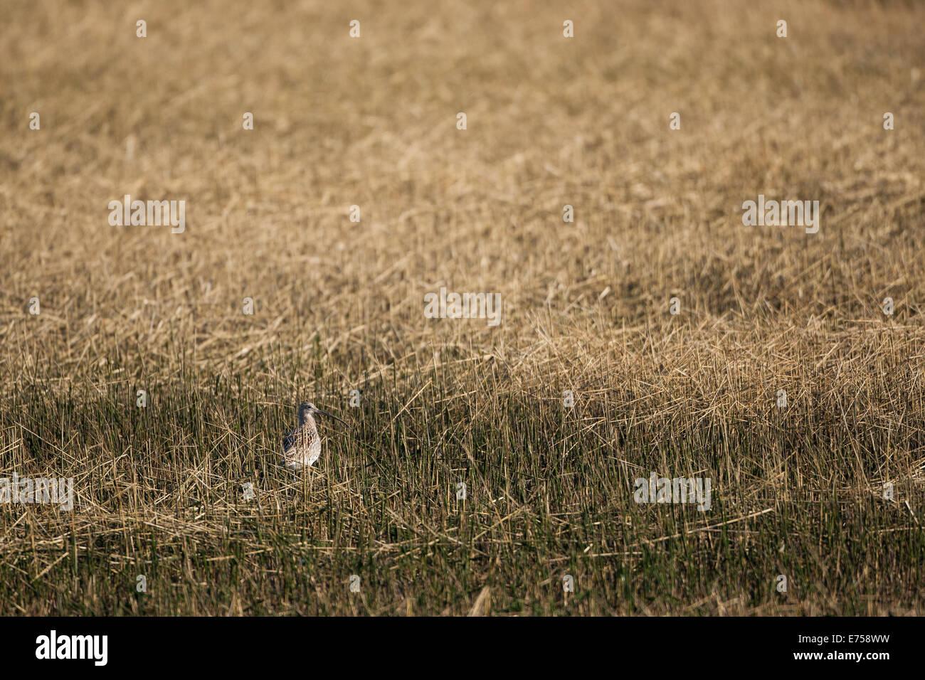 A Curlew in Estuarine Habitat - Stock Image