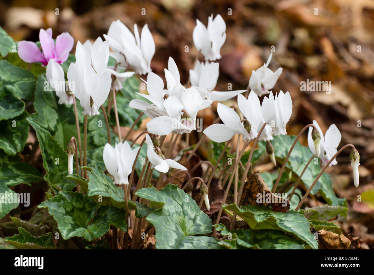 September flowers of the white form of sowbread, Cyclamen hederifolium album - Stock Image