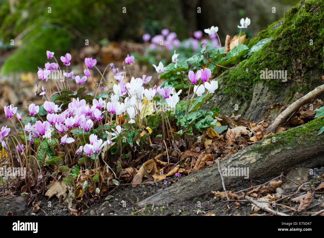 September Flowers Of The Pink And White Forms Of Sowbread Cyclamen