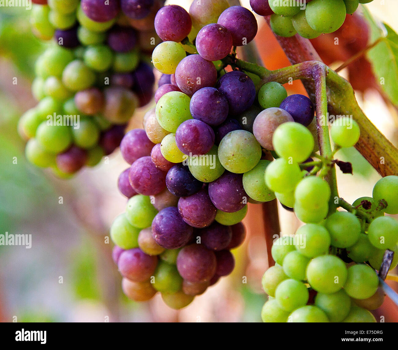 Light Hall Vineyards, grapes, Winery, Prince Edward County, grapes on the vine, wine, vines, close up, harvest, - Stock Image