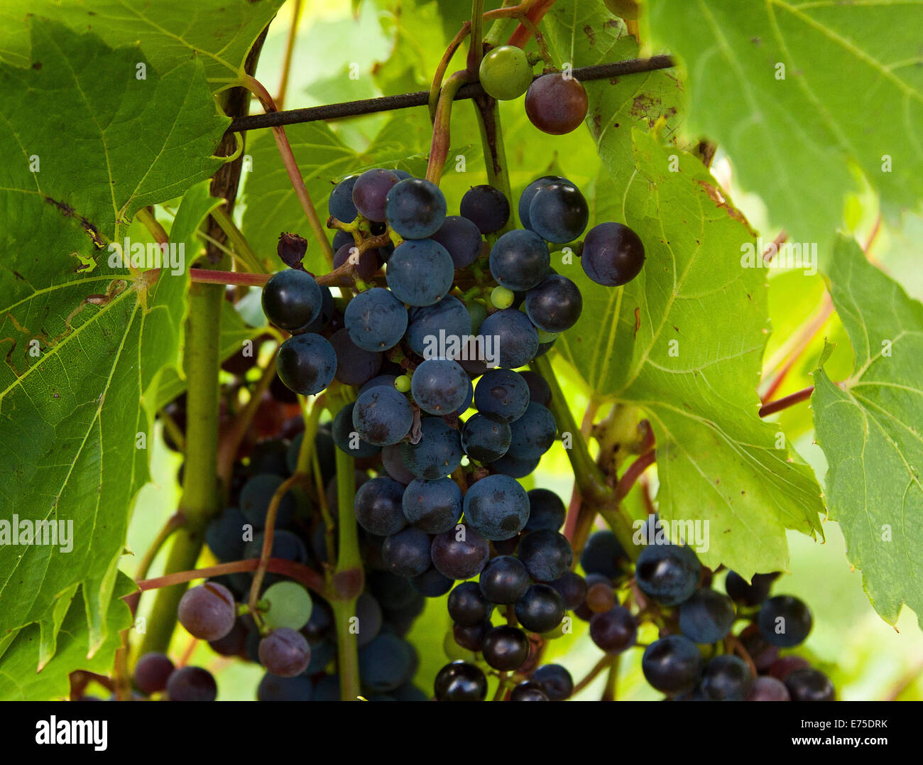 Light Hall Vineyards, grapes, Winery, Prince Edward County, grapes on the vine, France, wine, vines, nature, harvest, - Stock Image