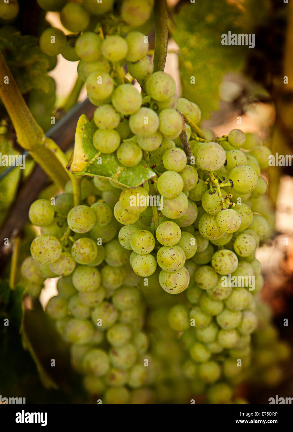 Light Hall Vineyards, grapes, Winery, Prince Edward County, grapes on the vine, vines, grape, white, bunch, harvest, - Stock Image