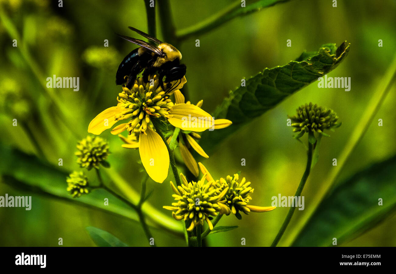 Bee on a yellow flower in Shenandoah National Park, Virginia. - Stock Image