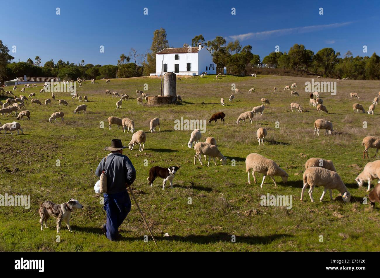 Sheep and shepherd, Beas, Huelva province, Region of Andalusia, Spain, Europe - Stock Image