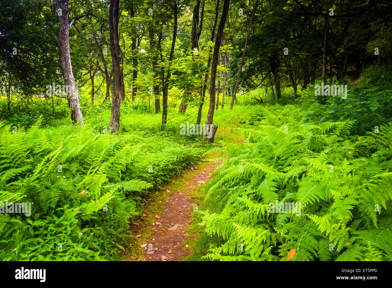 Ferns along a narrow trail through a forest at Shenandoah National Park, Virginia. - Stock Image