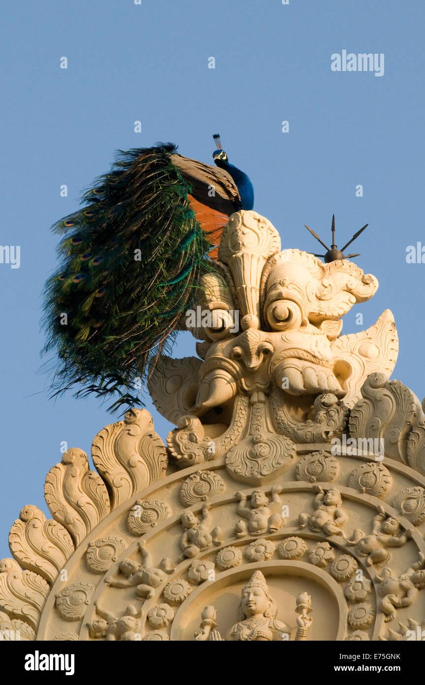 Male Peacock poised on Temple rooftop in Sri Ramana Maharshi Ashram Arunachala Hill Tiruvannamalai Tamil Nadu South - Stock Image