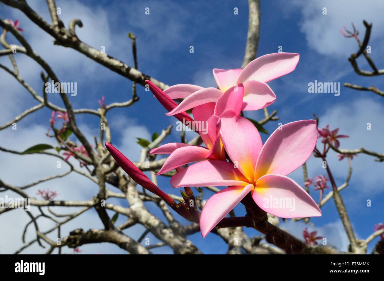 Hawaiian lei stock photos hawaiian lei stock images alamy frangipani plumeria rubra hawaiian lei flower on a tree in tropical pacific island izmirmasajfo