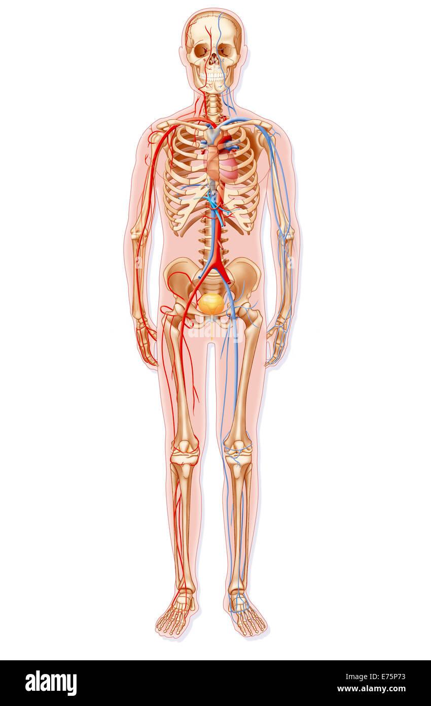 Blood circulation - Stock Image