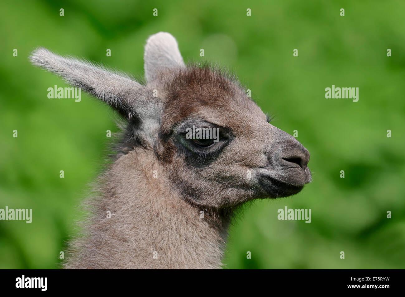 Llama (Lama glama), young, native to South America, captive, Germany - Stock Image