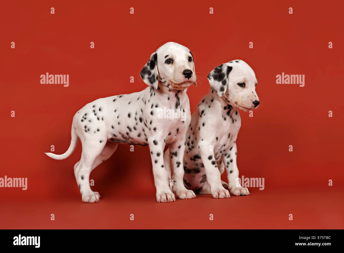 Two Dalmatian puppies, 6 weeks - Stock Image